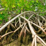Private Airboat Tours - Mangrove Cluster