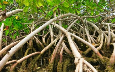 Mangroves - Private Airboat Tours - Mangrove Cluster